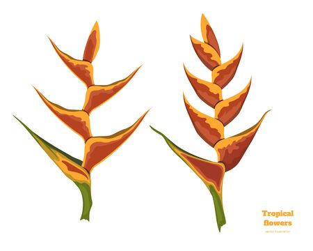 Isolated tropical flowers. Heliconia image. Design elements. Exotic bud. Orange floral plant in cartoon style. Jungle flora Ilustração