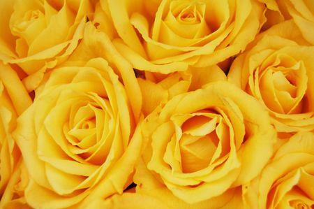 rosas amarillas: Rosas Amarillas