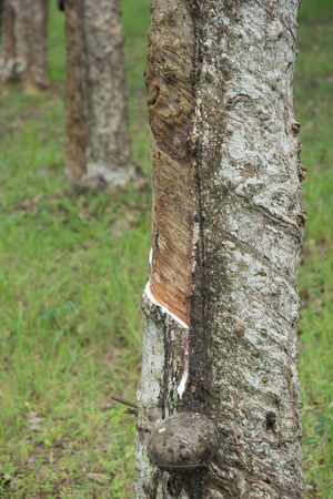 tapping: Tapping latex from rubber tree