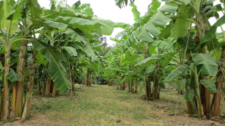 Banana tree plantation farm in the thailand