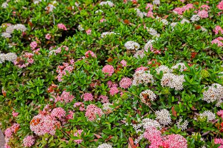 Ixora bush in the garden at thailand Stock Photo