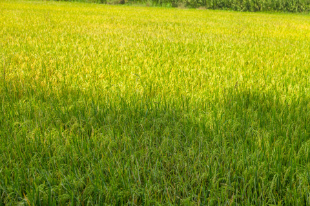 beautiful Green rice fields in ayutthaya thailand