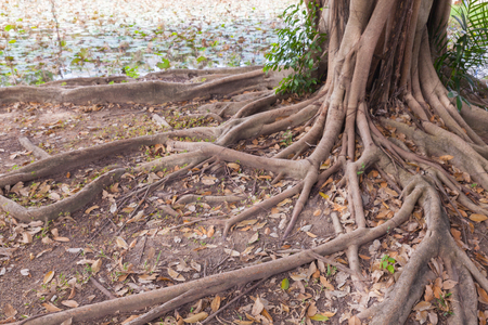 Banyan tree roots in the park at thailand Banque d'images