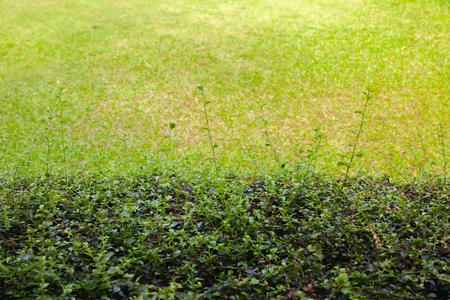 Epipremnum aureum outside the park in thailand