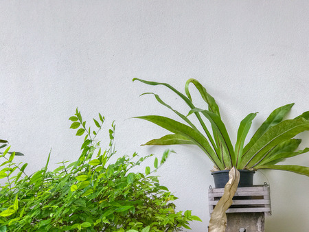 Asplenium nidus in the pot and bush at white wall