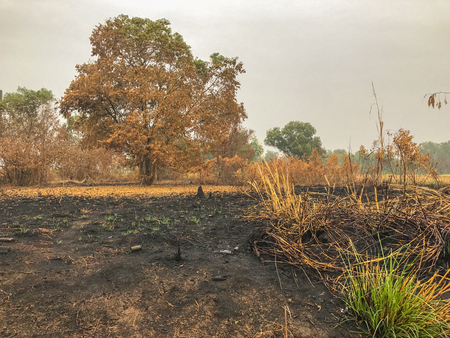 After fire burn forest become arid.dead trees Banco de Imagens