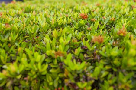 outdoor beautiful Ixora bush in the garden
