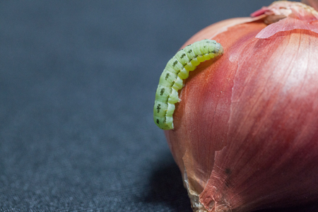close up of cotton bollworm on onion Stock Photo