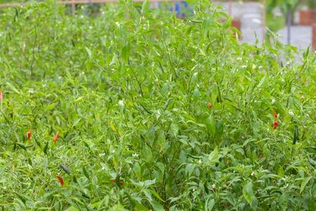 close up of chilli pepper plant in farm