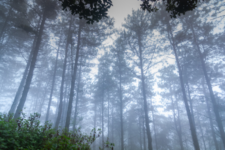 pine tree rainforest at mon jong national park ,chaing mai,Thailand Stockfoto
