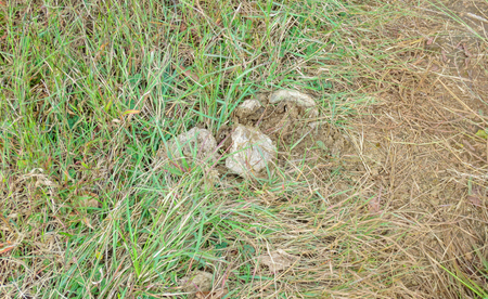 Dried cow dung on the green grass