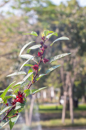 close up of fresh Roselle on tree in the garden