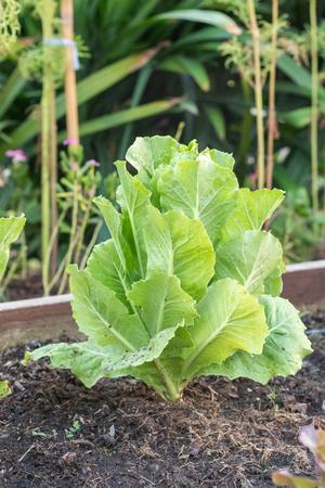Green Oak Lettuce salad on the ground Stock Photo