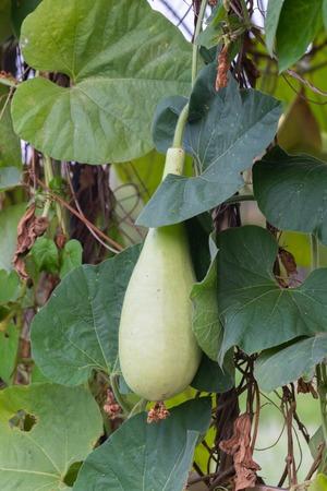 Calabash or Cucurbitaceae plant (Lagenaria Siceraria) at Thailand