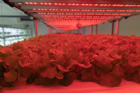Green Oak Lettuce Hydroponic with LED light