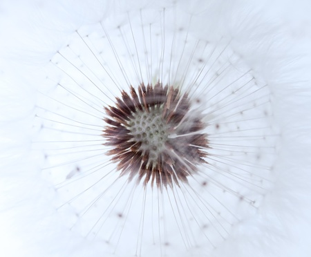 blowball: racem of blowball in white tint