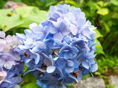 in bloom: Hydrangea Bloom