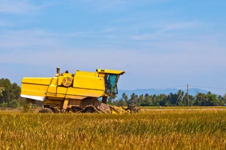 Żółty kombajn na zbiorze pola ryżowego przy słonecznej pogodzie