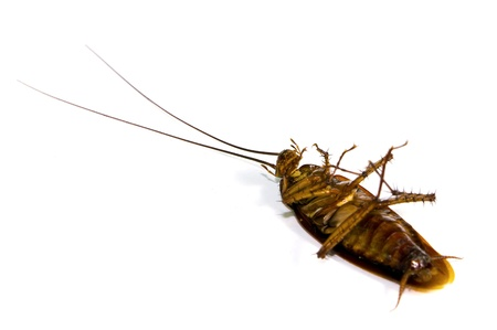 Dead cockroach on white background photo