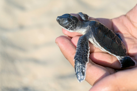 sri: Hand holding newly hatched baby turtle