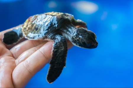 Hand holding newly hatched baby turtle photo