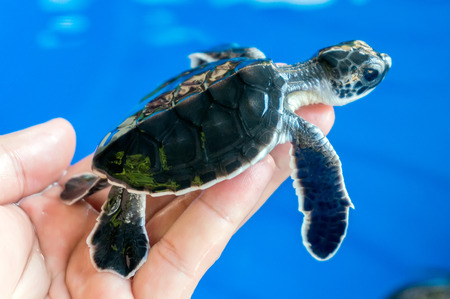 baby turtle: Hand holding newly hatched baby turtle