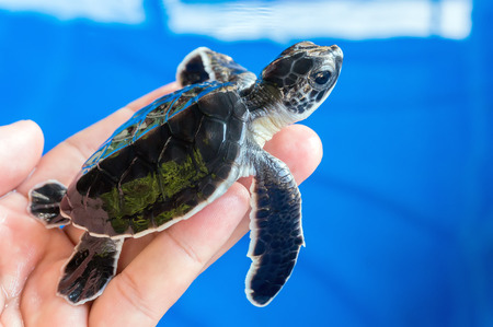 newly: Hand holding newly hatched baby turtle
