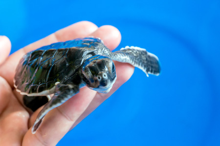 hatchery: Hand holding newly hatched baby turtle