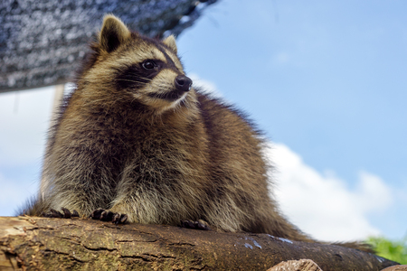 raccoons: A raccoon relaxing on tree branch during a fine sunny day
