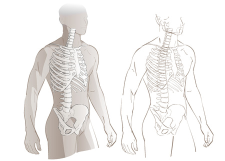 sternum: Human body parts skeletal man anatomy illustration isolated Illustration
