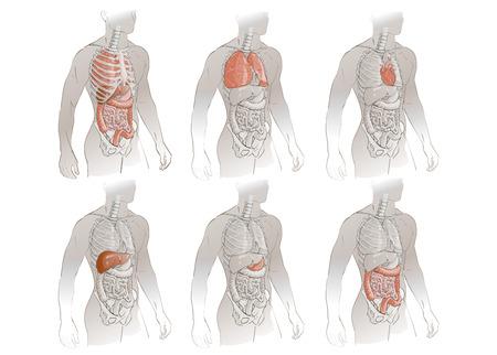 humain illustration anatomie du corps médical du système des organes internes
