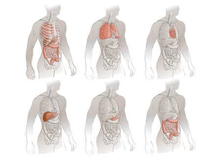 illustration human body anatomy medical internal organs system Illustration