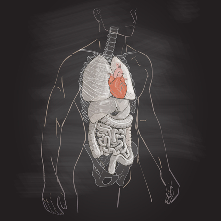 illustration human body anatomy heart medical internal organs system chalk drawing on the blackboard