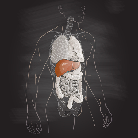 Illustration Human Body Anatomy Liver Medical Internal Organs ...