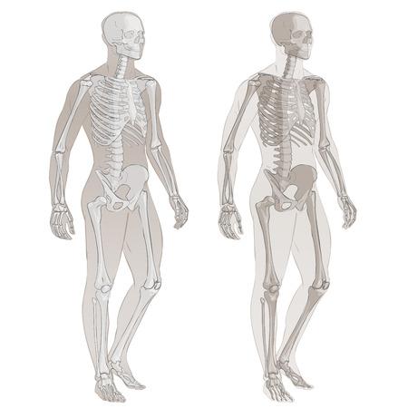 Menselijke lichaamsdelen skelet man anatomie vector illustratie geïsoleerde