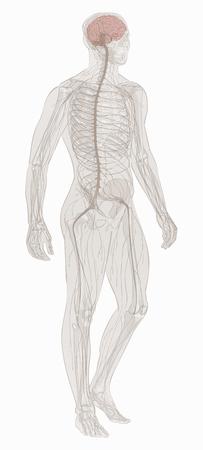 Nervous system vector. Illusztráció