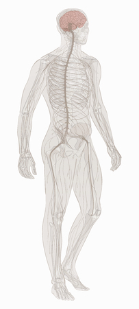 Nervous system vector. Stock Illustratie