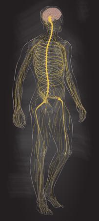 Nervous system vector. Illustration
