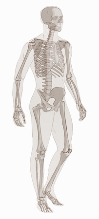 Man skeletal anatomy vector .
