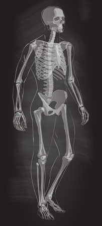 Man skeletal anatomy vector . Illustration
