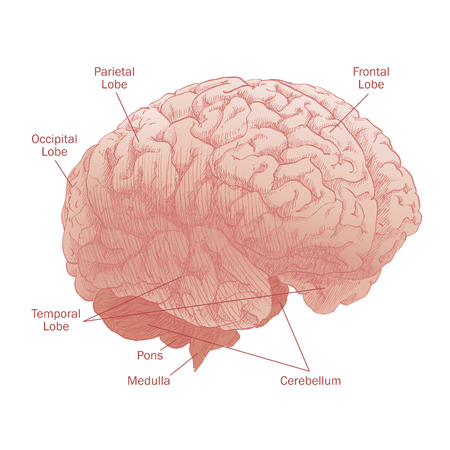 Human Brain, Head Anatomy With Label In White Background. Royalty ...