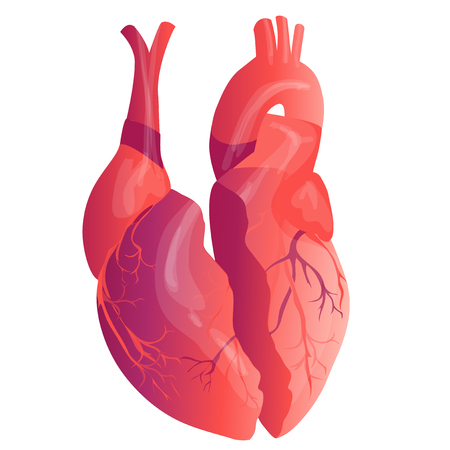 Vector realistic Human heart. Anatomy concept. illustration Ilustrace