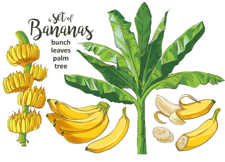 Tropical bananas palm trees with growing bunch, leaf, fruits, ripe cluster peeled slices foliage textural collection. Vintage design for banner, textile, wallpaper. Vector watercolor illustration.