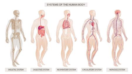 La ilustración vectorial Sistemas del cuerpo humano Sistemas circulatorio, esquelético, nervioso, digestivo
