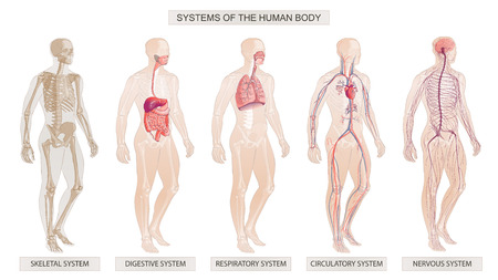 The vector illustration Human Body Systems Circulatory, Skeletal, Nervous, Digestive systems
