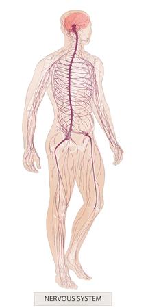 Parties du corps humain. Système nerveux. Anatomie de l'homme. Illustration de croquis de vecteur main noyer isolé Vecteurs