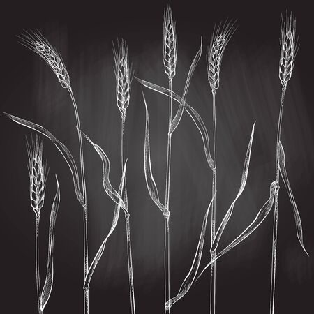 Ears of wheat. Cereals harvest, agriculture, organic farming, healthy food symbol.