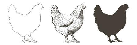 chicken, hen bird. Poultry, broiler, farm animal feeding. Vintage Easter card. Egg packaging design. Realistic sketch, line, silhouette, engraving illustration. 向量圖像