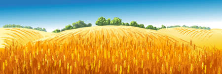 Vector rural summer landscape a field of ripe wheat on hills 写真素材