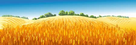 Vector rural summer landscape a field of ripe wheat on hills 版權商用圖片